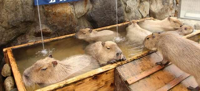 「カピバラ温泉」が見られる人気スポット6選 ふれあい施設も!