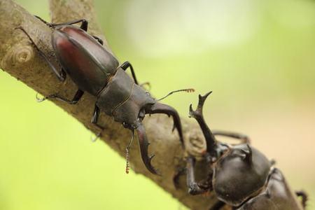 寿命 カブトムシ