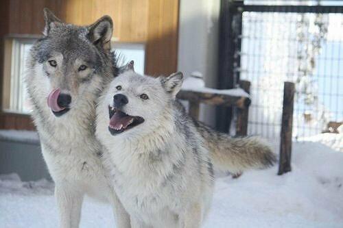 【全国】オオカミに会える動物園13選 エサやり体験や希少種も!