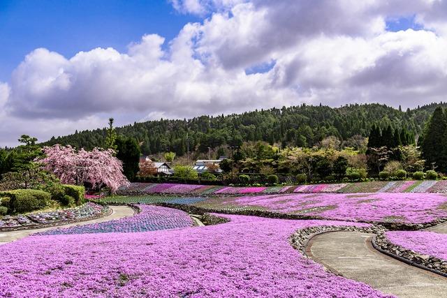 関西のおすすめ大規模「芝桜」スポット3選! 4月下旬~GWが見頃
