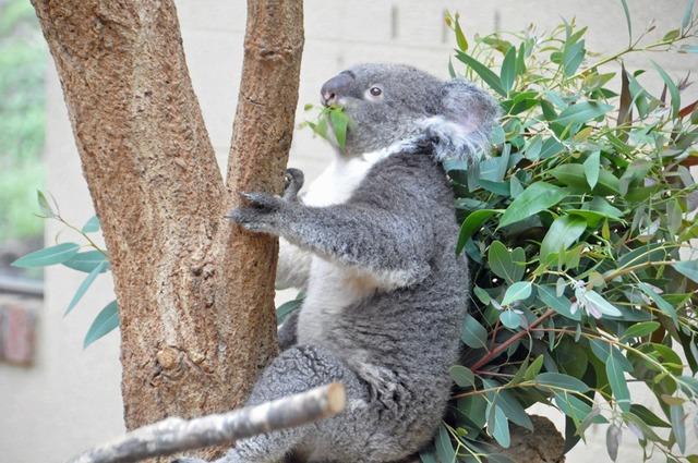 コアラ』 神戸市立王子動物園