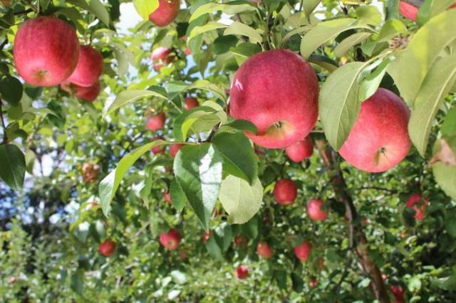 なかおりんご園