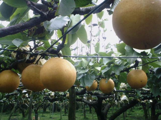 都農まるみ観光果樹園