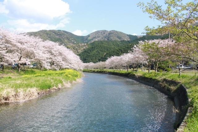 那賀川堤の桜