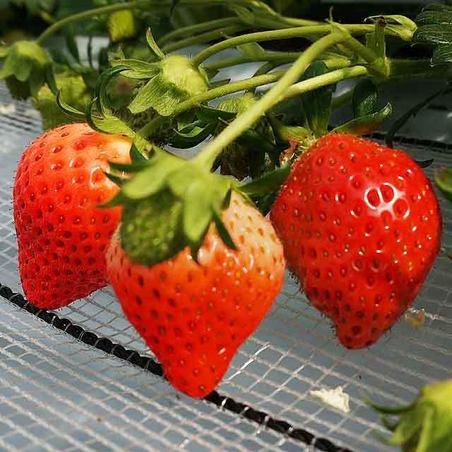 苺の時間 ひるま農園
