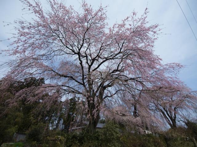 藤生沢のお角桜