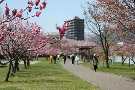 琴似発寒川の河川敷にある公園で、札幌市内でも人気のお花見スポットです。サクラ約50本・ウメ約300本が植えられており、5月にはサクラやウメが満開になるのでお花見を楽しむ方で賑わいます。また、滑り台…