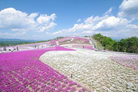茶臼山高原 芝桜の丘