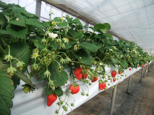 土方洋蘭イチゴ園