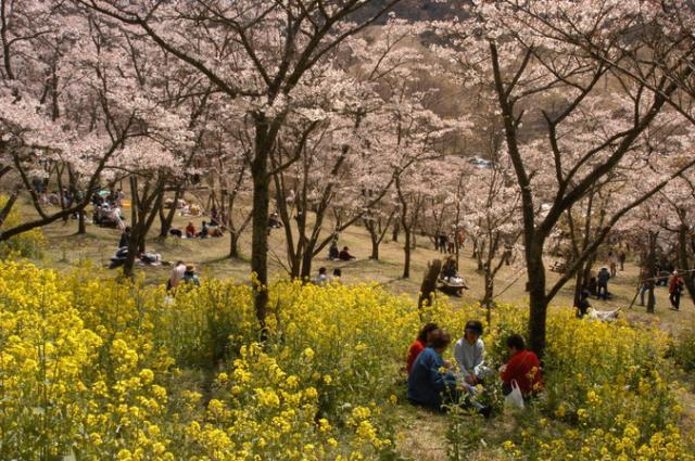 高森峠千本桜