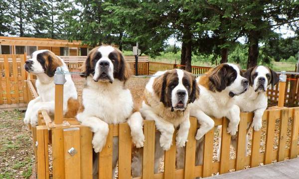 Image result for saint bernard 犬 睡眠